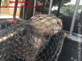 Maracaju: Bombeiros realizam captura de animais silvestre: capivara, cateto e jiboia em perímetro urbano