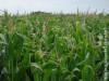 Colheita do milho da safra de inverno está prevista para o final de junho em MS