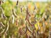 Alta do dólar eleva preço da soja em Mato Grosso do Sul