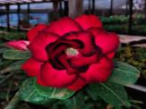 """Maracaju: Feira de mudas de """"Rosas do Desertos e Orquídeas"""""""