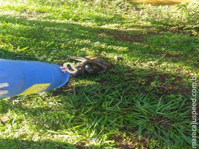 Maracaju: Bombeiros capturam Sucuri que estava atacando galinhas em galinheiro na Vila Margarida