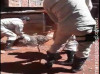 Maracaju: Bombeiros capturam uma capivara no Bairro Alto Maracaju