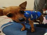 Maracaju: PROCURA-SE – Cachorrinho filhote desaparecido no Bairro Paraguai