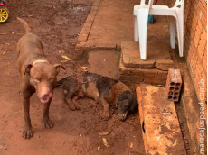 Polícia Militar Ambiental de Batayporã leva jovem de 19 anos à delegacia por omissão de cautela de dois cachorros em que um Pitbull matou seu outro cão
