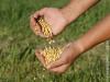 GenesisGroup tem inscrições abertas para classificadores de grãos em diversas regiões do Brasil, Maracaju tem vagas
