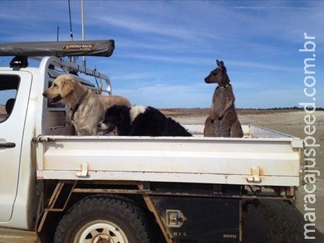 """Canguru """"pensa"""" que é cachorro e faz sucesso na internet"""