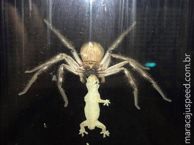 Australiana flagra aranha enorme capturando lagarto