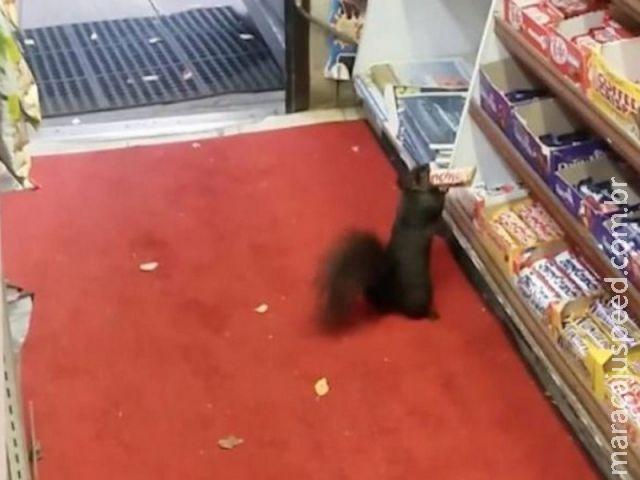 Esquilo é flagrado roubando barra de chocolate de loja no Canadá