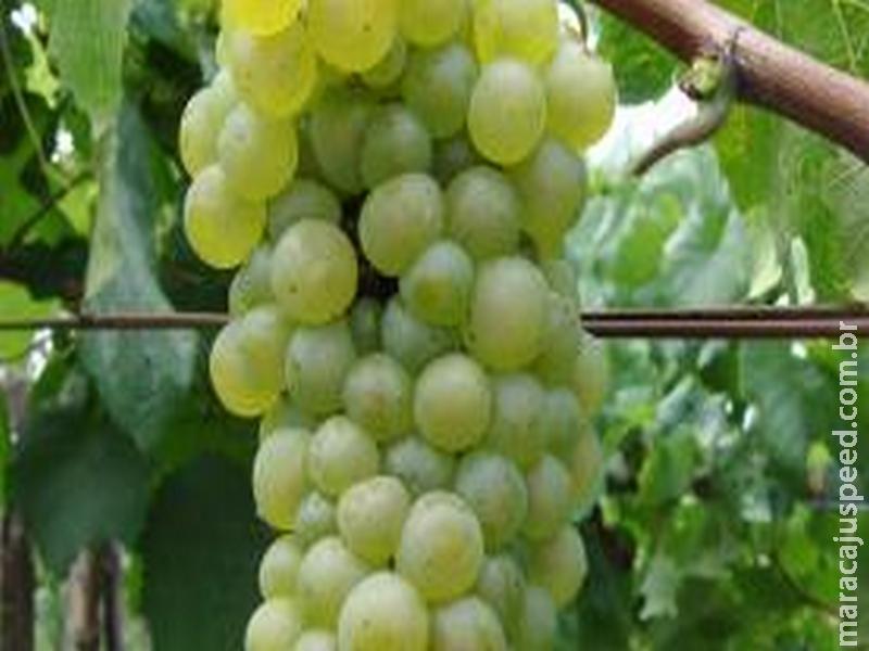 Brasileiros avançam em pesquisa para produção de uvas sem sementes