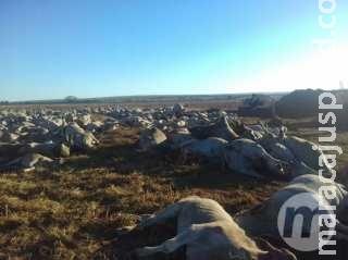 Milho contaminado causou morte de mais de mil bovinos em fazenda de MS
