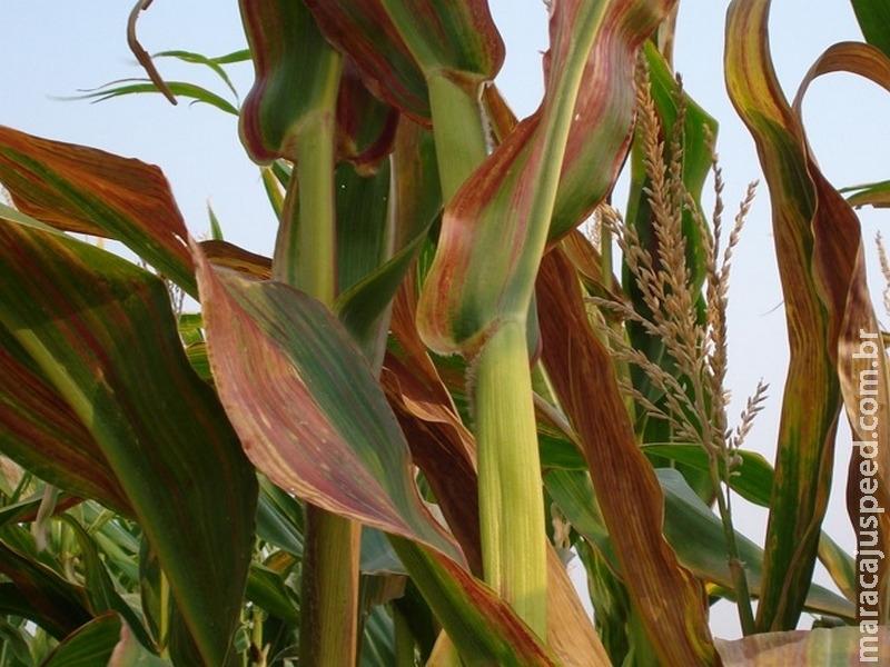 Cigarrinha e enfezamentos no milho: manejo do risco e convivência