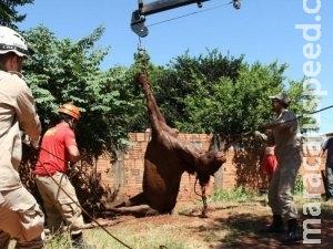 Bombeiros resgatam cavalo que caiu em fossa 2h depois, usando guincho