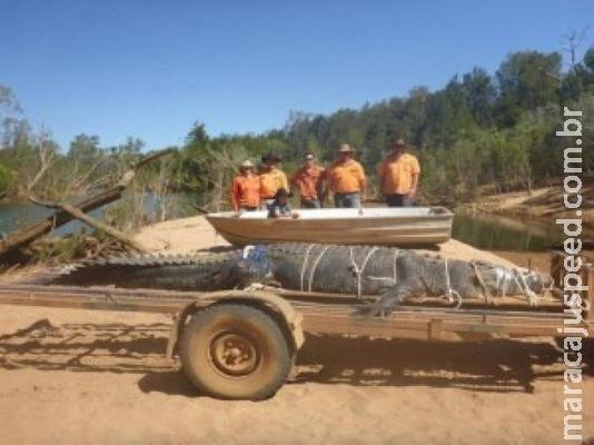 Crocodilo de 5 metros é capturado na Austrália a caminho da cidade
