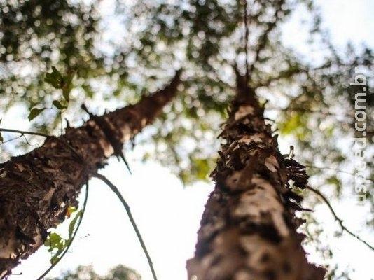 Quatro municípios de MS lideram ranking do plantio de eucalipto no país