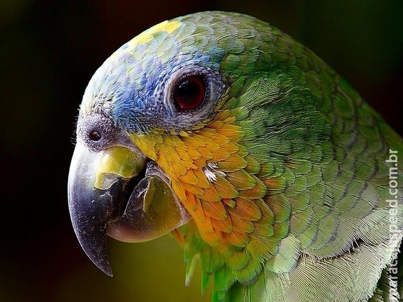 Quem viaja ao exterior com aves de estimação pode internalizar doenças que afetam o plantel brasileiro