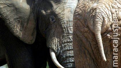 Caçador ilegal morre pisoteado por elefante e é devorado por leões na África do Sul
