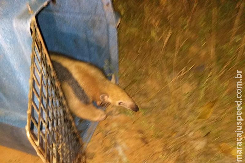 Polícia Militar Ambiental captura tamanduá em residência em Coxim