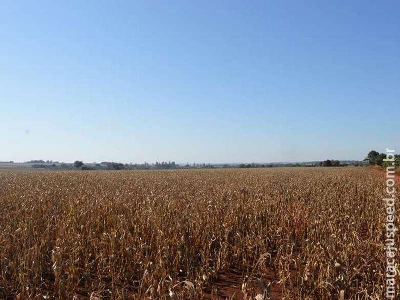Geada não afeta estimativa de produtividade e milho deve ter safra recorde em MS