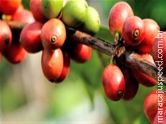 Safra mundial do ano-cafeeiro 2018-2019 atinge 174,5 milhões de sacas