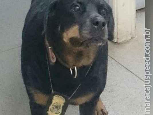 Derf pede ajuda para tratamento de cão policial que perdeu movimento das pernas