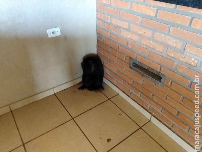 Macaco bugio é capturado dentro de residência na capital Campo Grande