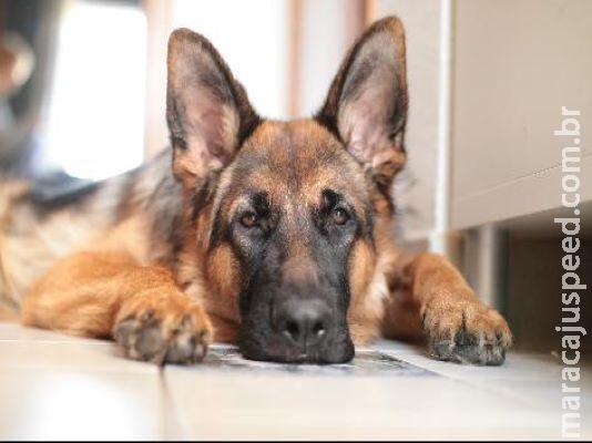 Primeiro cachorro infectado pelo coronavírus morre nos EUA depois de três meses