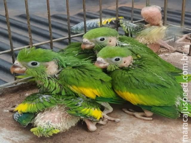 Polícia Militar Ambiental de Jardim apreende seis filhotes de periquitos