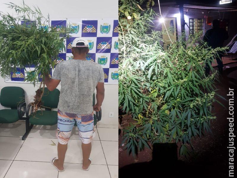 """Maracaju: Polícia Militar prende homem por cultivar árvores (pés) de maconha na Vila Margarida e fecha """"COOPERATIVA do cultivo"""""""