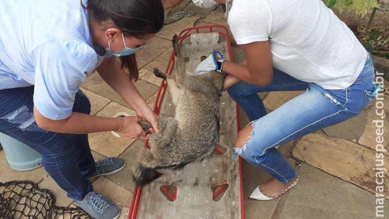 Ferido, lobinho é resgatado por moradores de bairro de Corumbá