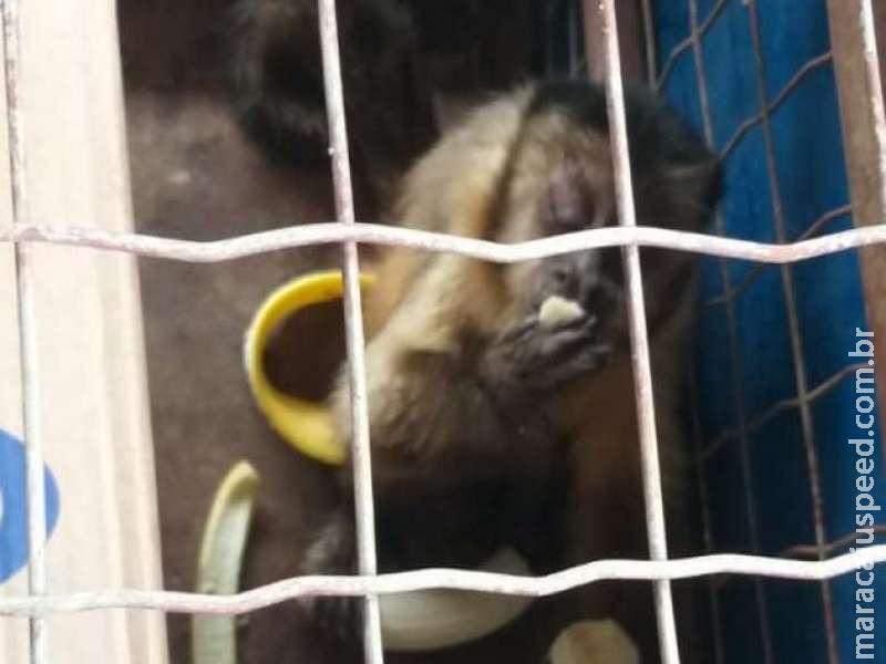 Com ferimento na pata, macaco-prego é resgatado por policiais ambientais