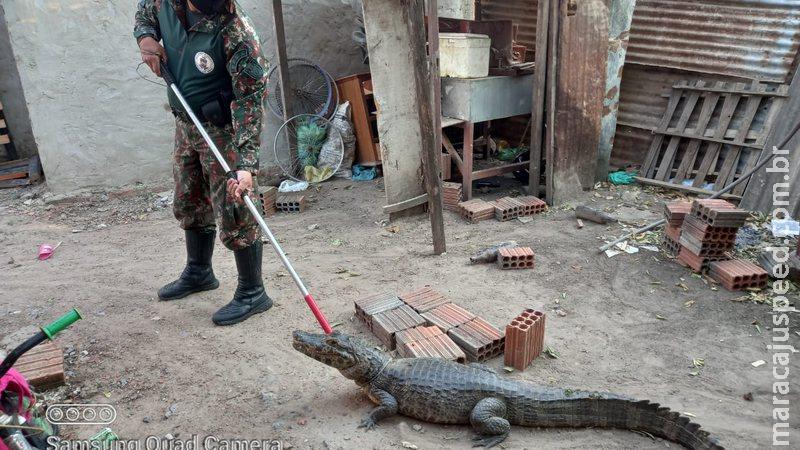 Jacaré de quase dois metros é capturado dentro de residência